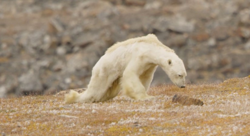 Article - Heart-Wrenching Video Shows Starving Polar Bear On Iceless Land
